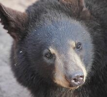 North American Black Bear by Jazzy724