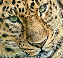 Amur Leopard by Mark Hughes
