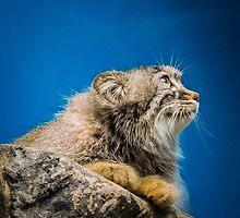 Pallas Cat by Sean Balanger