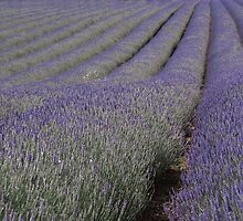 Fields of Lavender by Happy Endings..... Cards & Prints