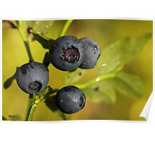 Wild Blueberries Poster