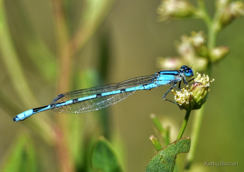 Azure Bluet Damselfly by Kathy Baccari