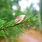 Water droplets on fir tree by Arve Bettum