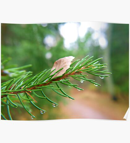 Water droplets on fir tree Poster