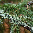 Lichen on fir branch by Arve Bettum