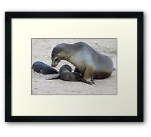 Galagapos Fur Seals Framed Print