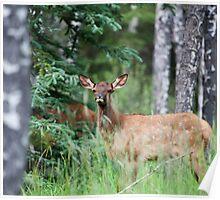 Baby Elk, Jasper National Park, BC Poster