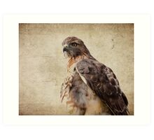 Coopers Hawk Art Print