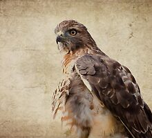 Coopers Hawk by michelsoucy