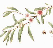 Hakea laurina - Pincushion Hakea by Cheryl Hodges