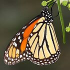 hanging by a leaf Monarch by ruth  jolly