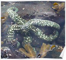 Starfish, Broughton Archipelago, BC Poster