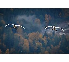 Soaring Swans Photographic Print