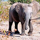 Elephant, Kruger, South Africa by Margaret  Hyde