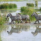 Zebra Crossing by Carole-Anne
