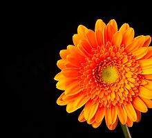 Orange Gerbera by Platslee