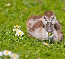 Gosling with Daisy by Platslee