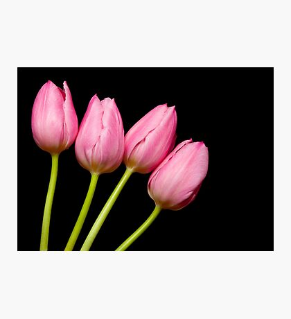 Four Pink Tulips Photographic Print