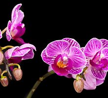 Pink Orchids by Platslee