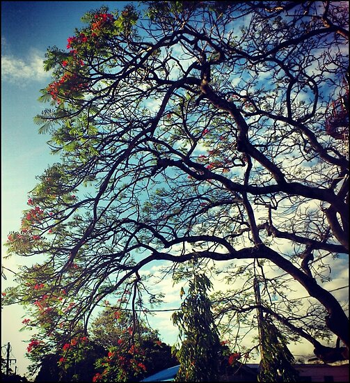 Flamboyant Tree Blossom by tropicalsamuelv
