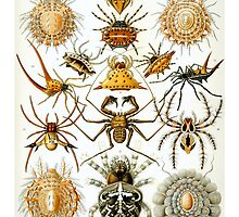 Spider Haeckel Illustration by monsterplanet
