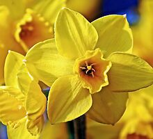 Yellow Daffodil by debbienobile