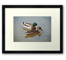 Mallard Ducks Framed Print