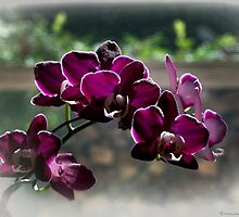 Purple orchid by Ivelina Aasen
