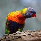 Rainbow Lorikeet by Will Hore-Lacy