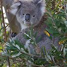 Koala by Will Hore-Lacy
