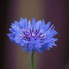 Cornflower (Centaurea Cyanus) by photosbymo