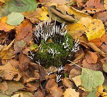 Candlesnuff Fungus by Sue Robinson