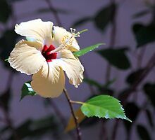 Hibiscus Shadows by John Dalkin