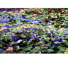 Many waterlilies Photographic Print