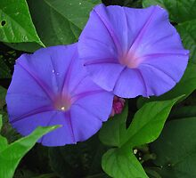 Morning Glory by Betty Mackey
