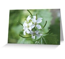 White Dame's Violet Greeting Card