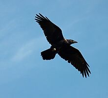 Raven Flight by DWMMPhotography