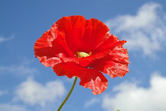 The Single Poppy by Barrie Woodward