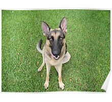 A German Shepherd smile Poster
