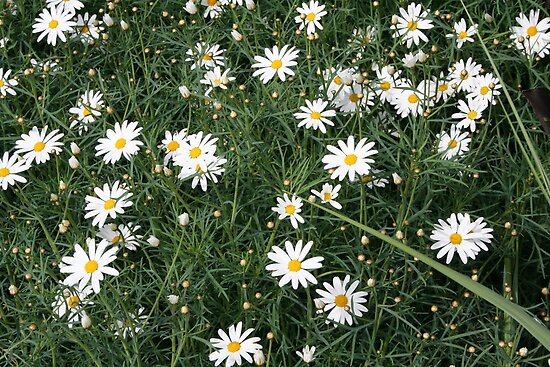 Camomile by Somerset33