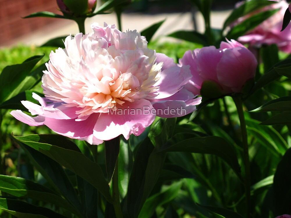 Frilly Peony by MarianBendeth