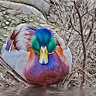 Mallard by Keri Harrish