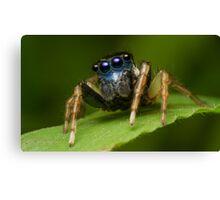 (Menemerus bivittatus) Jumping spider Canvas Print