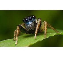 (Menemerus bivittatus) Jumping spider Photographic Print