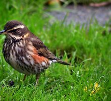 Redwing - image 1 by missmoneypenny