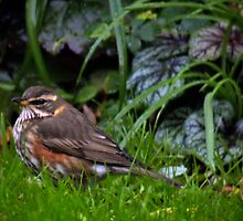 Redwing - image 2 by missmoneypenny