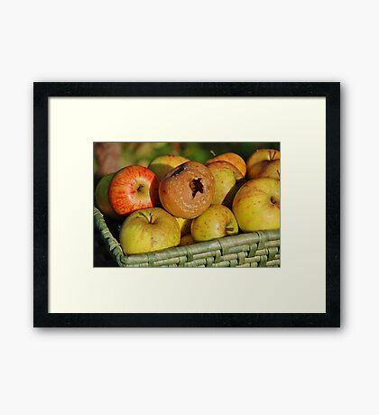 Rotten apple in the basket Framed Print