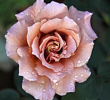 Julia's rose by Sherie Howard