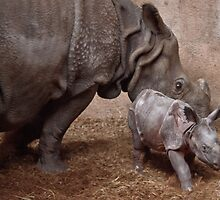 New Rhino born in Rotterdam ZOO by John44