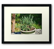 Thyme pot Framed Print